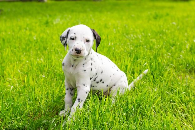 Zoete dalmatische puppyzitting op groen gras, weide. zomertuin