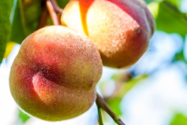 Zoete perzikvruchten die op een perzikboomtak groeien