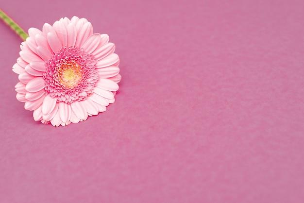 Zoete roze gerberabloem voor liefde romantische achtergrond. zachte selectieve aandacht. kopieer ruimte.