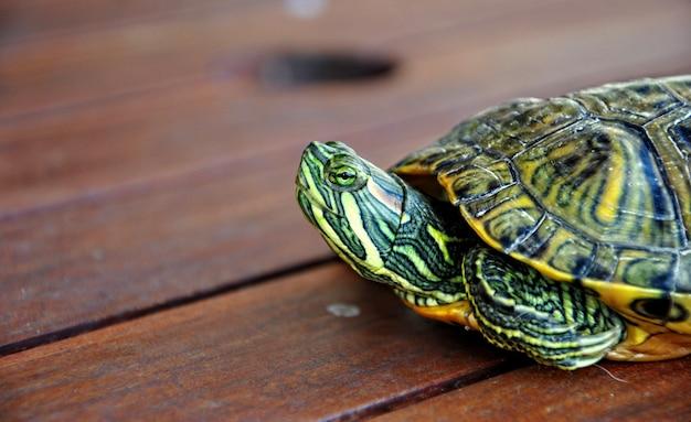 Zoetwaterschildpad wandelen en kijken naar hun omgeving
