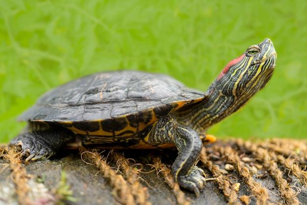 Zoetwaterschildpadden aan de kust bij het water