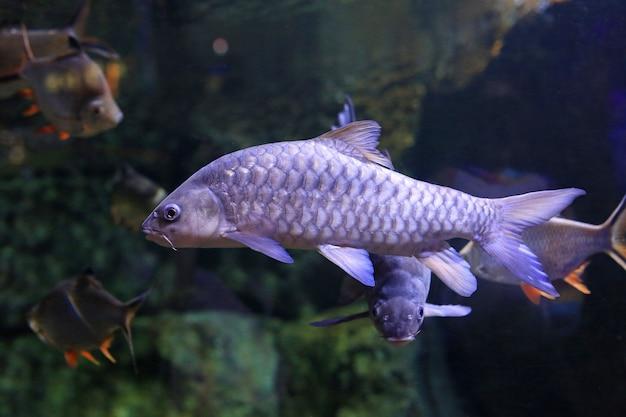 Zoetwatervissenkarper (cyprinus carpio of khela mahseer) die onder water in aquariumtank zwemmen.