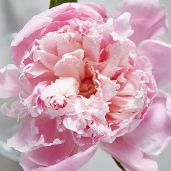Zomer achtergrond met close-up bloesem bloem pioen van waterdruppels op een grijze achtergrond.