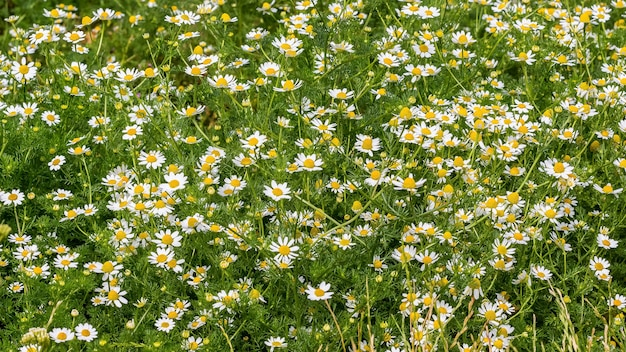 Zomer achtergrond, textuur van margrieten. tapijt van zomerbloemen