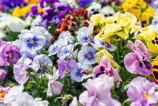 Zomer achtergrond van viooltje bloemen bloeien in de tuin.