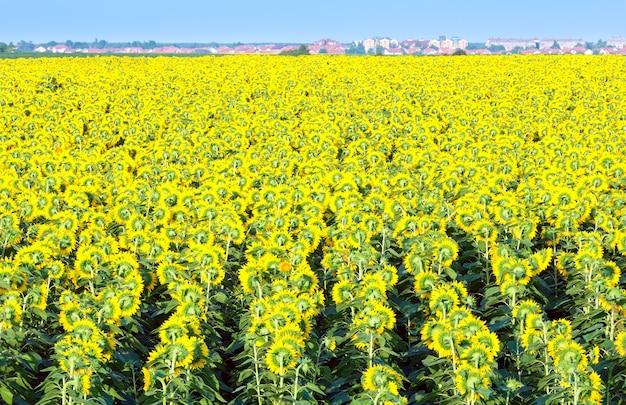 Zomer bloeiende zonnebloemen (helianthus annuus) veld en stad op horizont