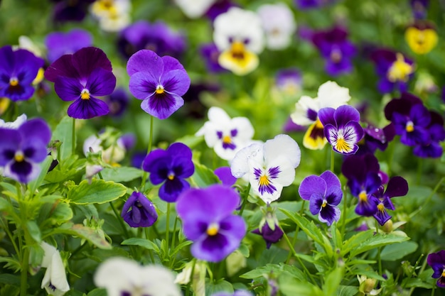 Zomer bloemenkaart met driekleurige altviolen