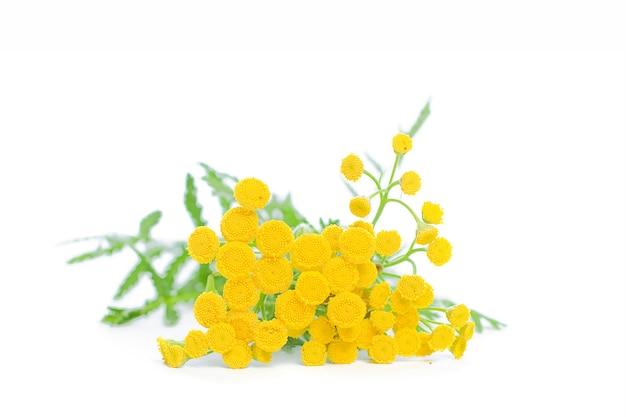 Zomer gele bloemen boerenwormkruid geïsoleerd op een witte muur