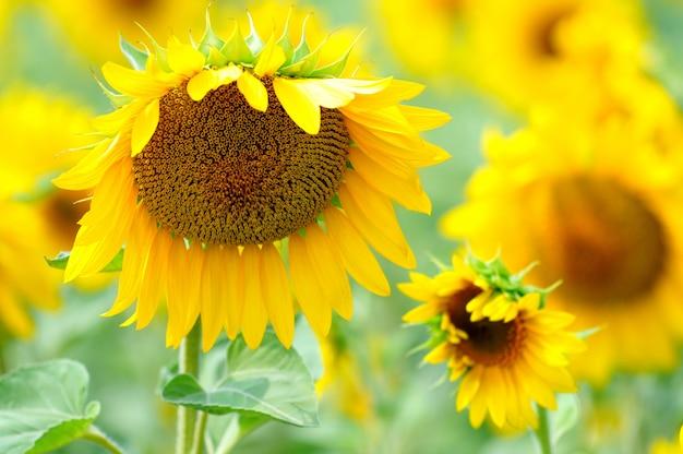 Zomer gele zonnebloemen met groene bladeren in veld op zomerdag