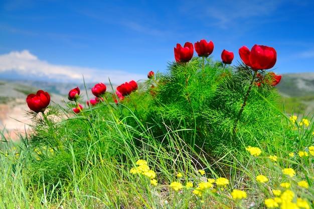 Zomer landschap, heuvels en weide met groen gras bezaaid met rode papaver bloemen en paardebloemen