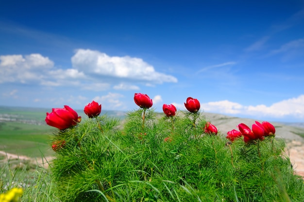 Zomer landschap, heuvels en weide met groen gras bezaaid met rode papaverbloemen en paardebloemen