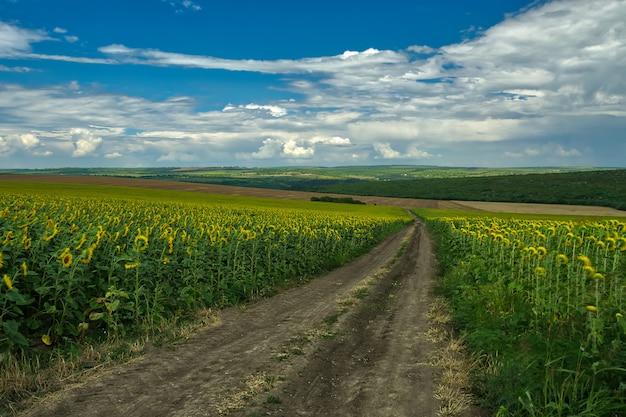 Zomer landschap met een veld van zonnebloemen, een onverharde weg en een boom