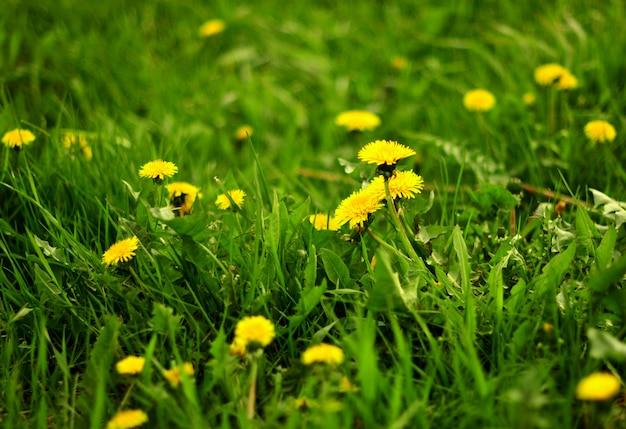 Zomer landschap met weide van paardebloemen bloemen. selectieve aandacht