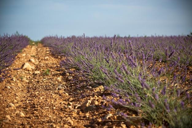 Zomer lavendel veld in de provence, frankrijk. geschoten met een selectieve focus