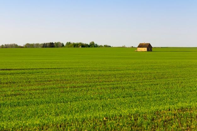 Zomer met groene spruiten van gras of granen, in het midden van het veld werd een huis gebouwd, de tijd van zonsondergang, een landschap met oranje tinten