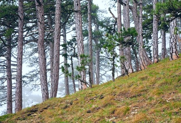 Zomer mistige bos van pijnbomen op heuvel