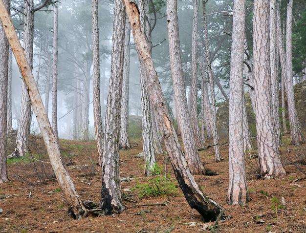 Zomer nevel bos van pijnbomen op heuvel