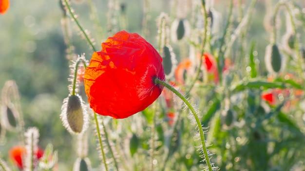 Zomer rode papaver veld in het veld