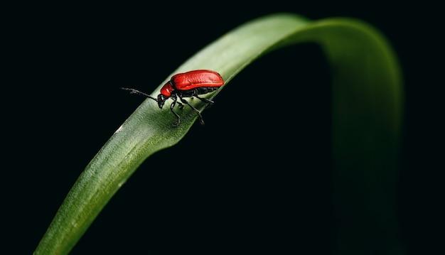 Zomer rood lieveheersbeestje