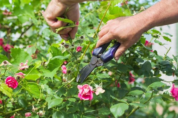 Zomer seizoensgebonden tuinieren, tuinmannen handen met snoeischaar bloemen afsnijden