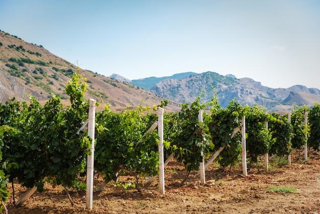 Zomer wijngaard op het platteland
