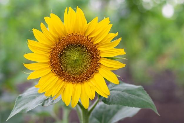 Zomer zonnebloem in een tuin. natuurlijke achtergrond met kopie ruimte