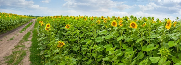 Zomer zonnebloemen veld met een onverharde weg