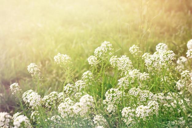 Zomeravond achtergrond met witte bloemen alissum, retro toon