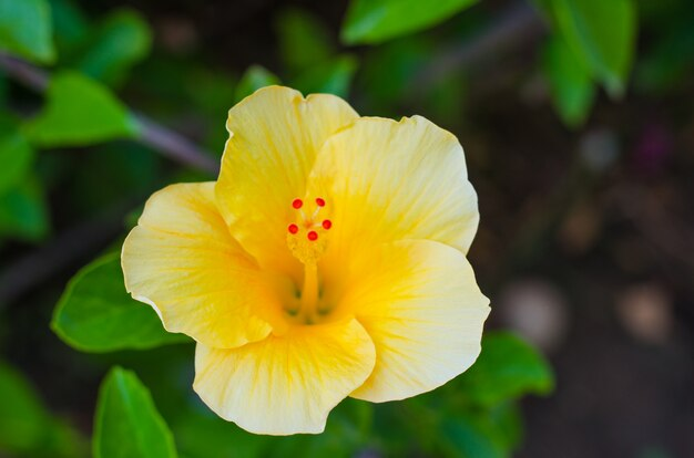 Zomerbloem oranje cosmos sulphureus