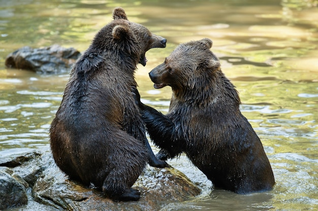 Zomergevecht tussen de broers beren ursos arctos