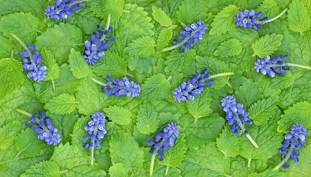 Zomergroene achtergrond van groene muntblaadjes en blauwe bloemen