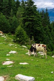 Zomerlandschap in de provincie artvin met koeien die grazen op de verse groene berg.