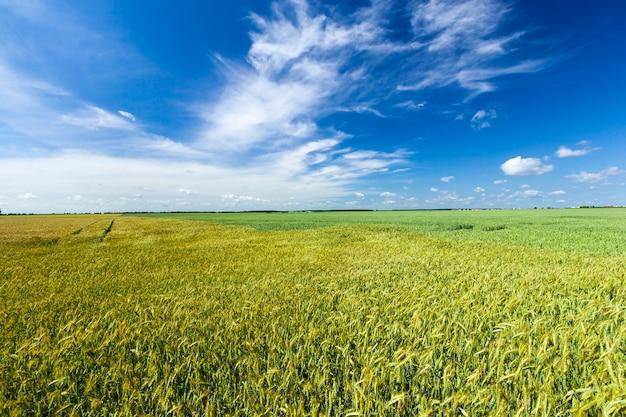 Zomerlandschap met groene onrijpe granen, tarwe en rogge, in landbouwvelden, volledig gevuld met tarweveld