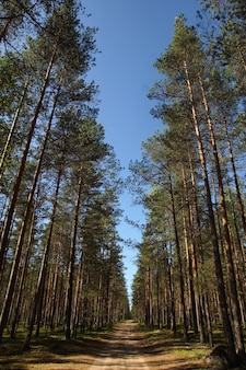 Zomerlandschap met hoge rechte pijnbomen in het bos