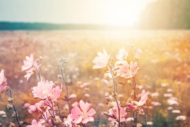 Zomerlandschap met wilde kaasjeskruid. bloeiende weide in het zonlicht.