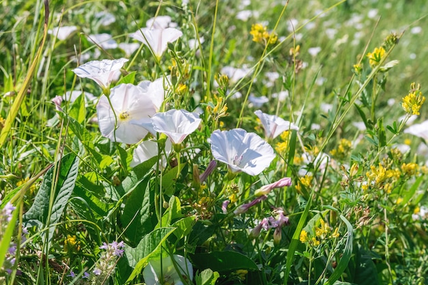 Zomerlandschap veldwinde weide rangschikking en andere wilde bloemen als een natuurlijke bloemenachtergrond