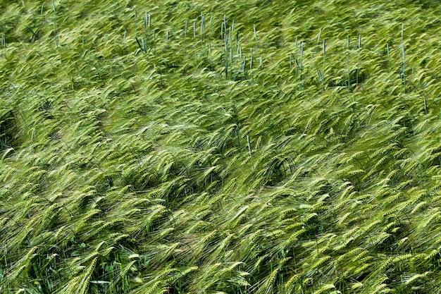 Zomerseizoen roggeplanten in een landbouwgebied, roggeveld met groene onrijpe roggeaartjes