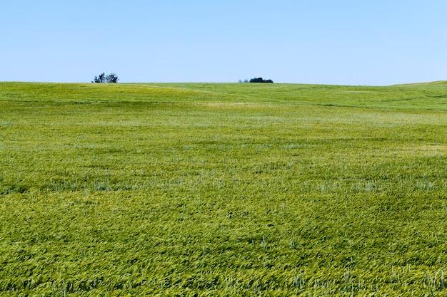 Zomerseizoen roggeplanten tegen het blauwe luchtroggeveld met groene onrijpe roggeaartjes