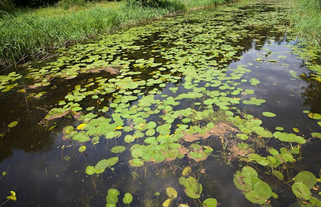 Zomertijd op een meer met stilstaand water en waterlelies in de buurt van het bos, meer met groeiende waterlelies