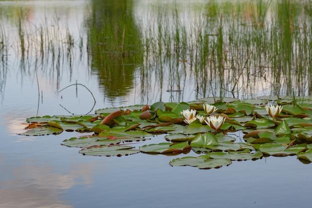 Zomervijver met waterleliebloemen op het water in het meer