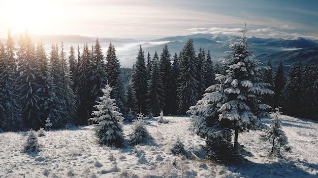Zon over pijnbomen bij sneeuwberg