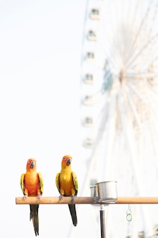 Zon papegaaiachtigen papegaai vogels op houten balk met wazig reuzenwiel op achtergrond