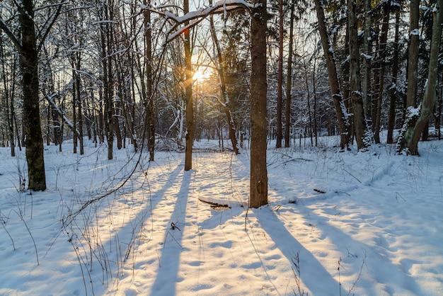 Zon schijnt door de bomen in het winterbos. mooi koud landschapslandschap.