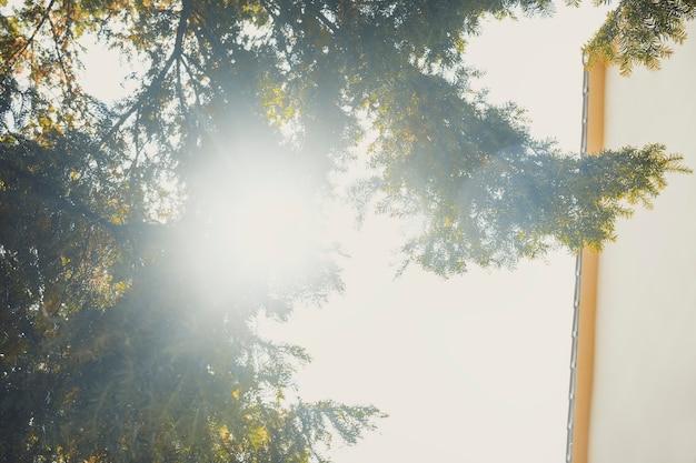 Zon schijnt door de dennen in de ochtend