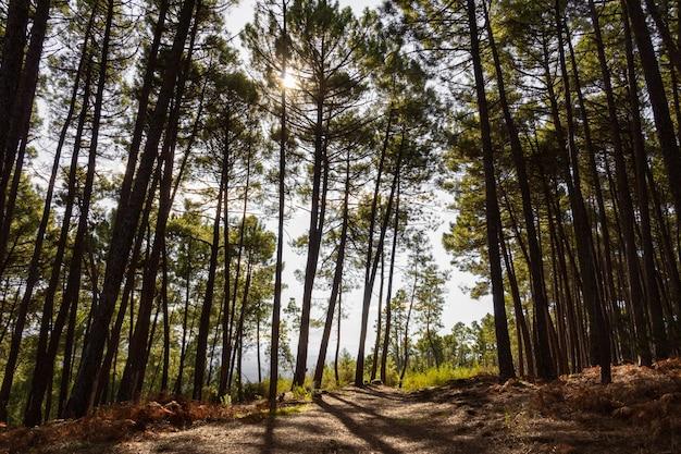 Zonlicht door het bladerdak van de dennen in een bos achtergrondverlichting