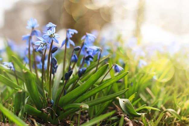 Zonlicht en stralen op blauwe eerste bloem in de lente
