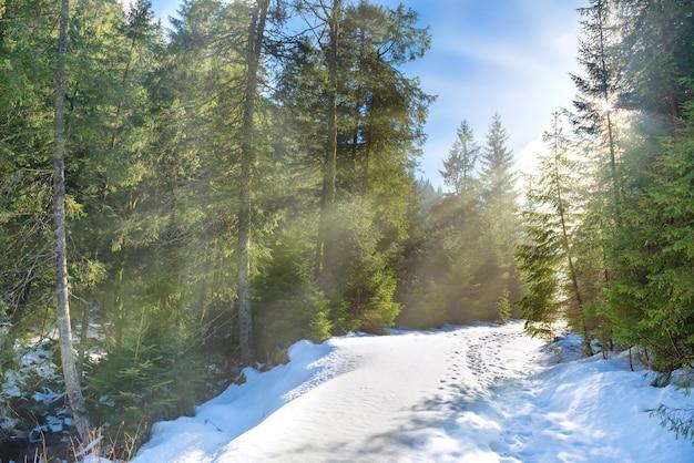 Zonlicht in het winterbos met witte verse sneeuw en pijnbomen