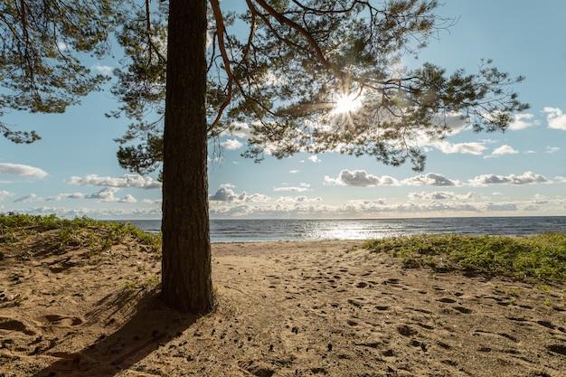 Zonlicht komt door de pijnboom op het zandstrand van de finse golf in rusland.