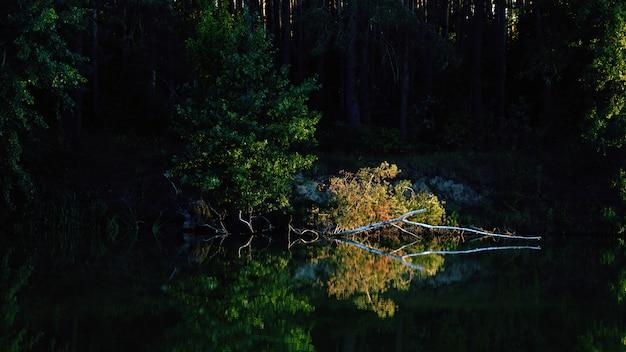 Zonlicht op gebroken berk met gele bladeren op de rivier met reflectie