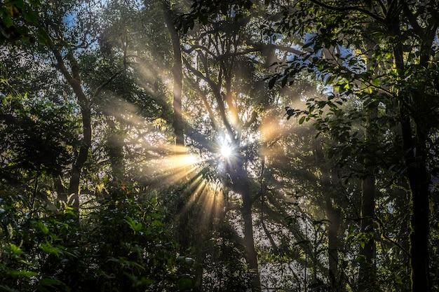 Zonlichtstralen die door de bomen in het regenwoud overgaan.